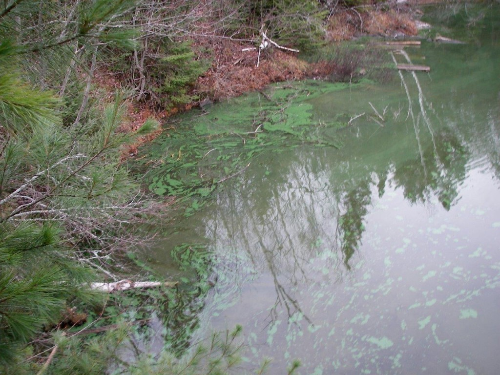 Blue-green algae on Ella Lake - November 2012